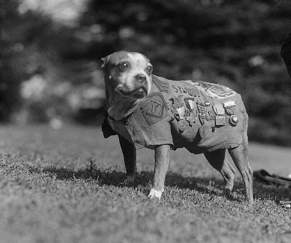 Sgt. Stubby  The first decorated canine war hero and the only dog to be promoted to sergeant was pit bull-type dog named Stubby. Born in 1917, he wandered into a Connecticut National Guard encampment on the Yale University campus. He was a scrawny little pup of about 4-weeks-old, found there by John Robert Conroy who smuggled his beloved companion aboard the troop ship, the SS Minnesota.